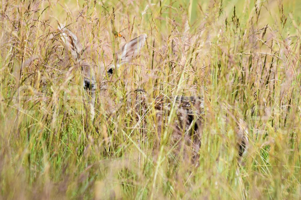 gut getarnt: Rehkitz im hohen Gras | fotografiert bei Daun in der Vulkaneifel