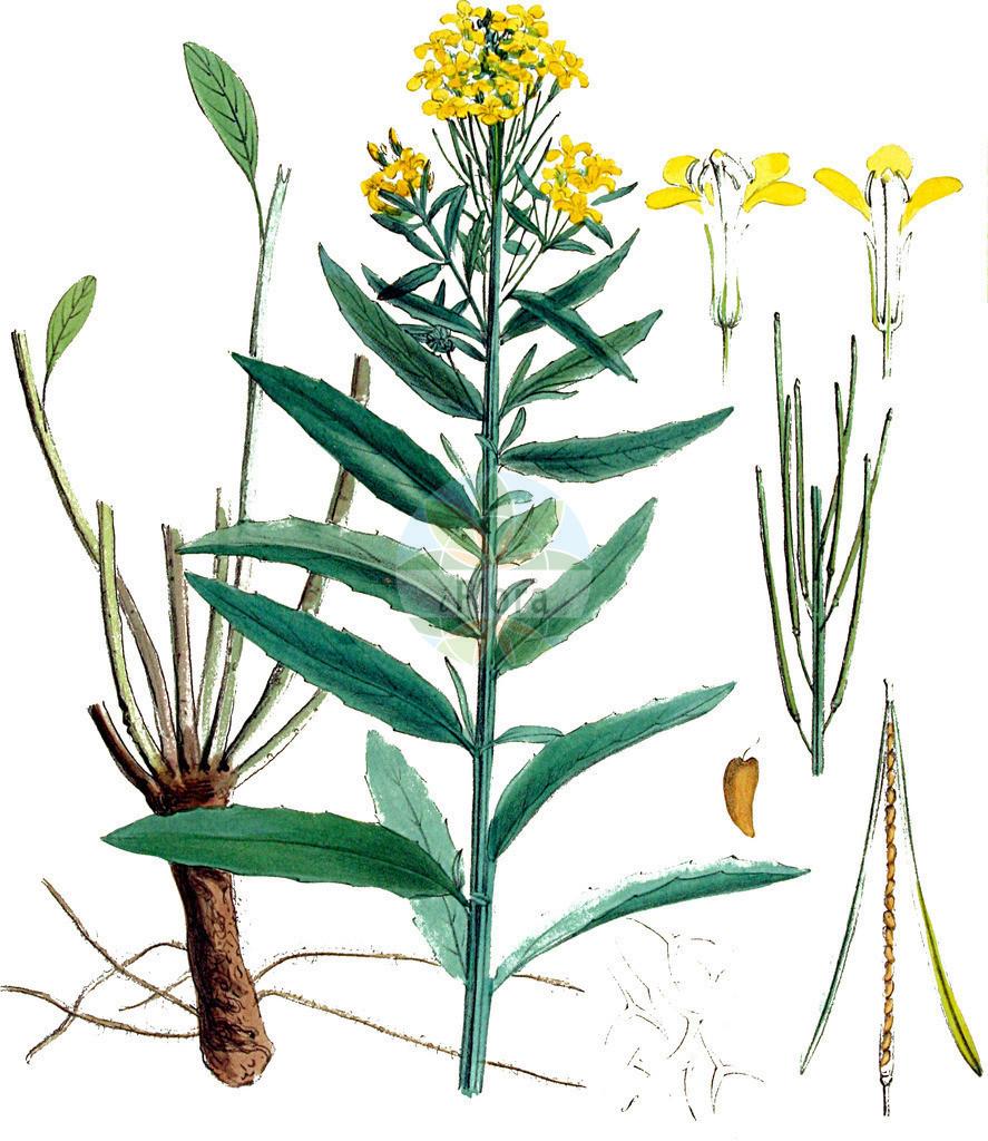 Erysimum hieraciifolium agg. (Ruten-Schoeterich - Hawkweed-leaved Treacle Mustard)   Historische Abbildung von Erysimum hieraciifolium agg. (Ruten-Schoeterich - Hawkweed-leaved Treacle Mustard). Das Bild zeigt Blatt, Bluete, Frucht und Same. ---- Historical Drawing of Erysimum hieraciifolium agg. (Ruten-Schoeterich - Hawkweed-leaved Treacle Mustard).The image is showing leaf, flower, fruit and seed.