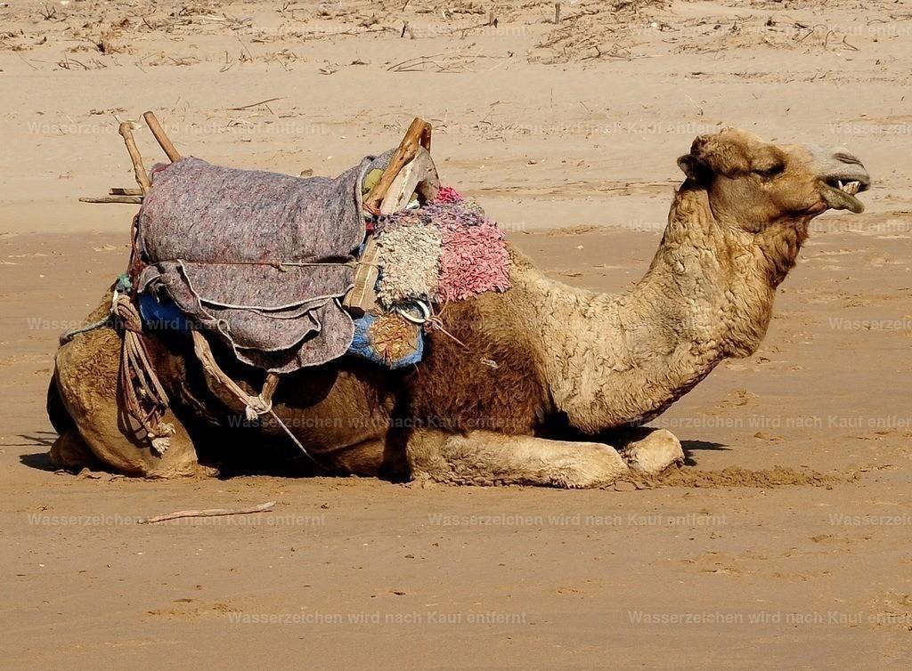 Liegendes Kamel | Liegendes Kamel