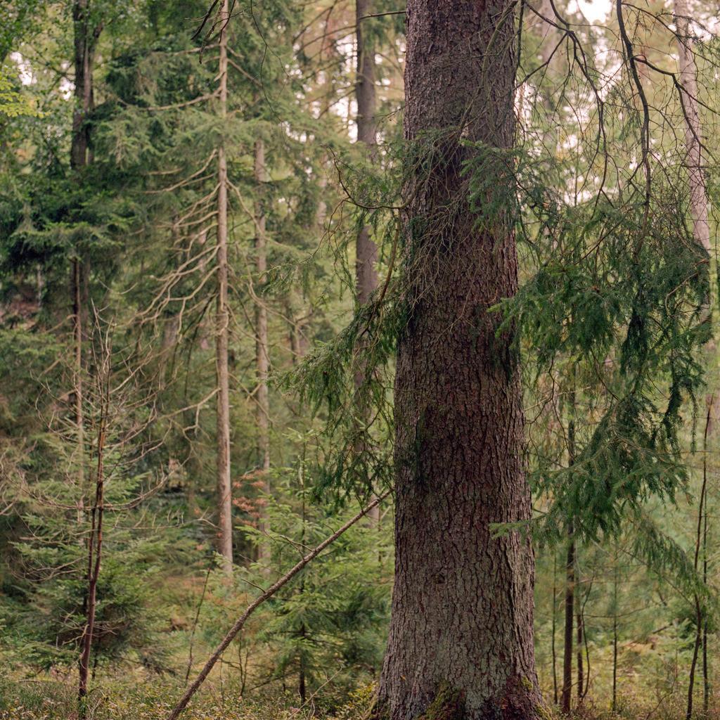 Fichte Pfälzerwald   Fichte im Pfälzerwald