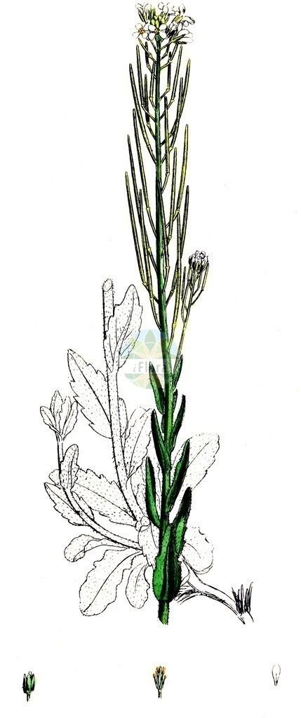 Arabis sagittata (Pfeilblaettrige Gaensekresse - Arrowleaf Rockcress)   Historische Abbildung von Arabis sagittata (Pfeilblaettrige Gaensekresse - Arrowleaf Rockcress). Das Bild zeigt Blatt, Bluete, Frucht und Same. ---- Historical Drawing of Arabis sagittata (Pfeilblaettrige Gaensekresse - Arrowleaf Rockcress).The image is showing leaf, flower, fruit and seed.