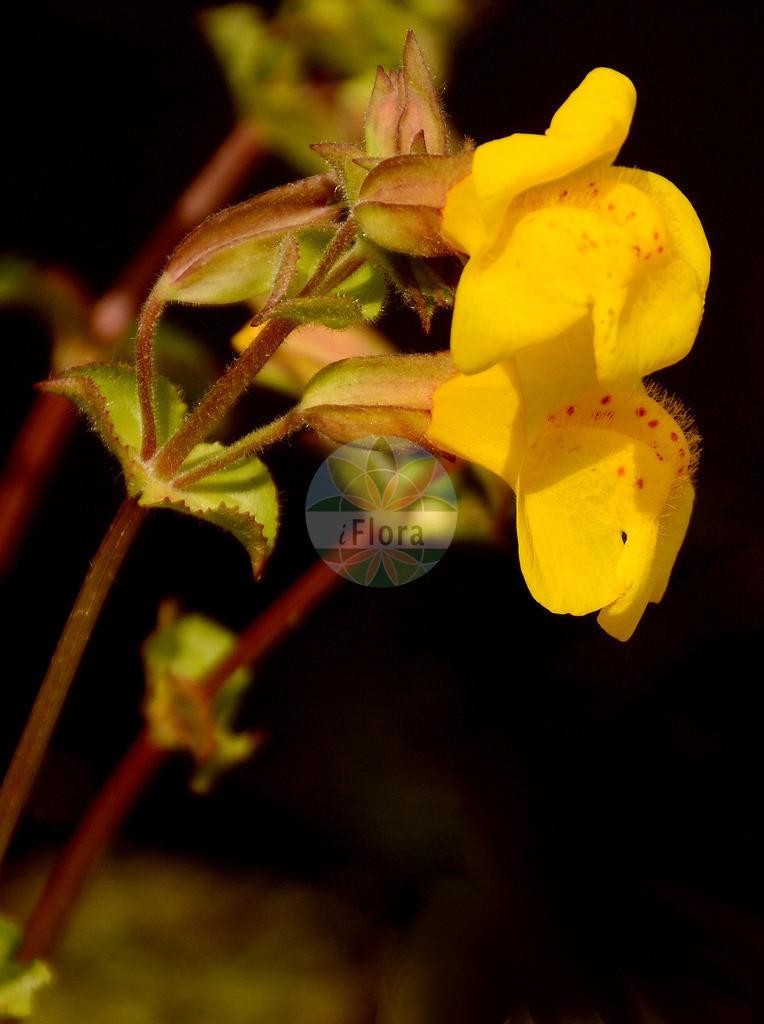 Mimulus guttatus (Gelbe Gauklerblume - Blood-drop-Emlets) | Foto von Mimulus guttatus (Gelbe Gauklerblume - Blood-drop-Emlets). Das Foto wurde in Jardin des Plantes, Paris, Frankreich aufgenommen. ---- Photo of Mimulus guttatus (Gelbe Gauklerblume - Blood-drop-Emlets).The picture was taken in Jardin des Plantes, Paris, France.