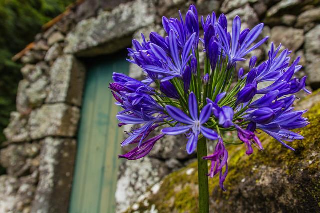 Blütenstaude Azoren vor Hütte