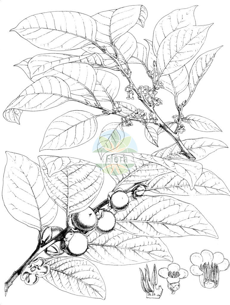 Diospyros lotus | Historische Abbildung von Diospyros lotus. Das Bild zeigt Blatt, Bluete, Frucht und Same. ---- Historical Drawing of Diospyros lotus.The image is showing leaf, flower, fruit and seed.