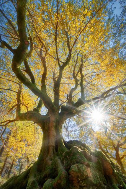 Lebensbaum | Fotografieren im Wald ist eine Herausforderung. Bäume, Büsche, Gras und Steine vermischen sich zu einem chaotischen Durcheinander. Diesen Prachtexemplar von einem Baum im spanischen Baskenland war allerdings ein leichter Fang. Das Gegenlicht der Sonne ließ das Herbstlaub aufleuchten.