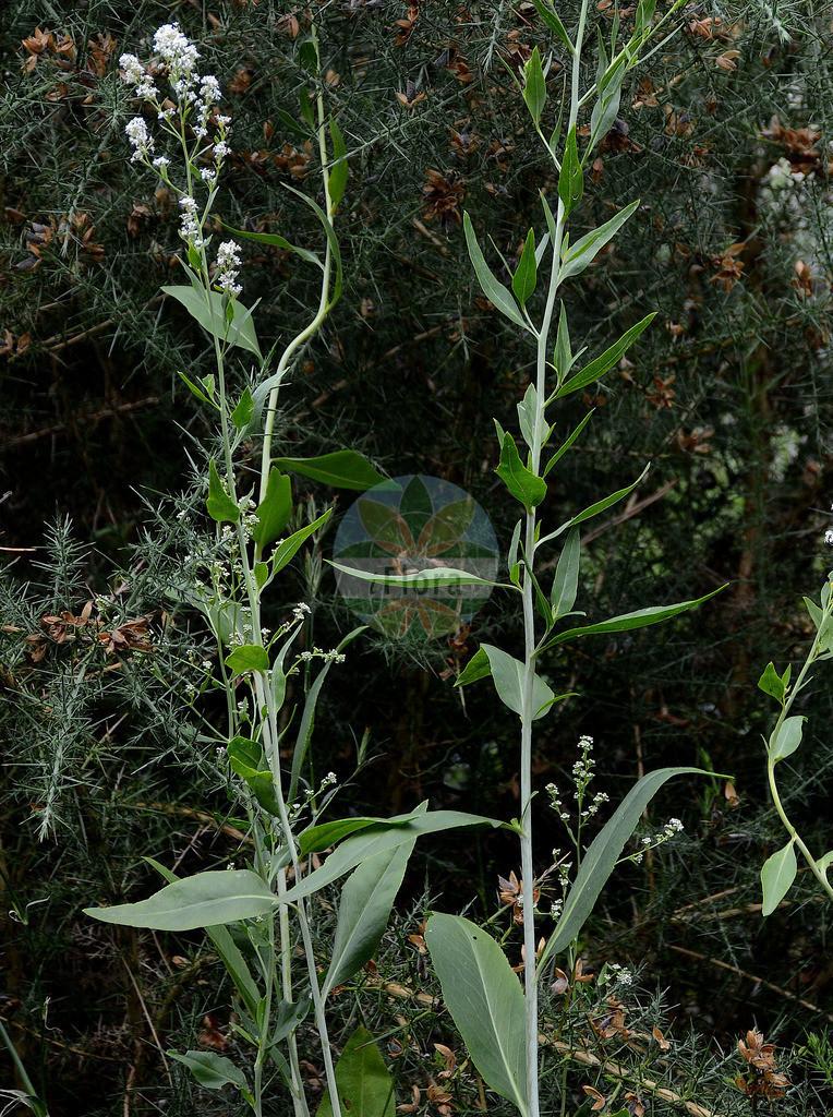Lepidium latifolium (Breitblaettrige Kresse - Dittander) | Foto von Lepidium latifolium (Breitblaettrige Kresse - Dittander). Das Foto wurde in Dresden, Sachsen, Deutschland aufgenommen. ---- Photo of Lepidium latifolium (Breitblaettrige Kresse - Dittander).The picture was taken in Dresden, Sachsen, Germany.