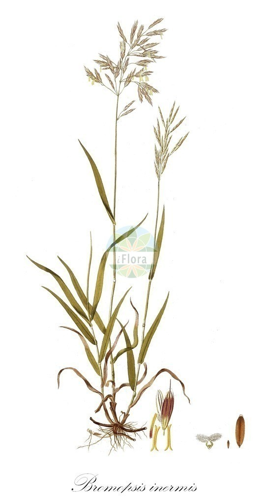 Historical drawing of Bromopsis inermis (Hungarian Brome) | Historical drawing of Bromopsis inermis (Hungarian Brome) showing leaf, flower, fruit, seed