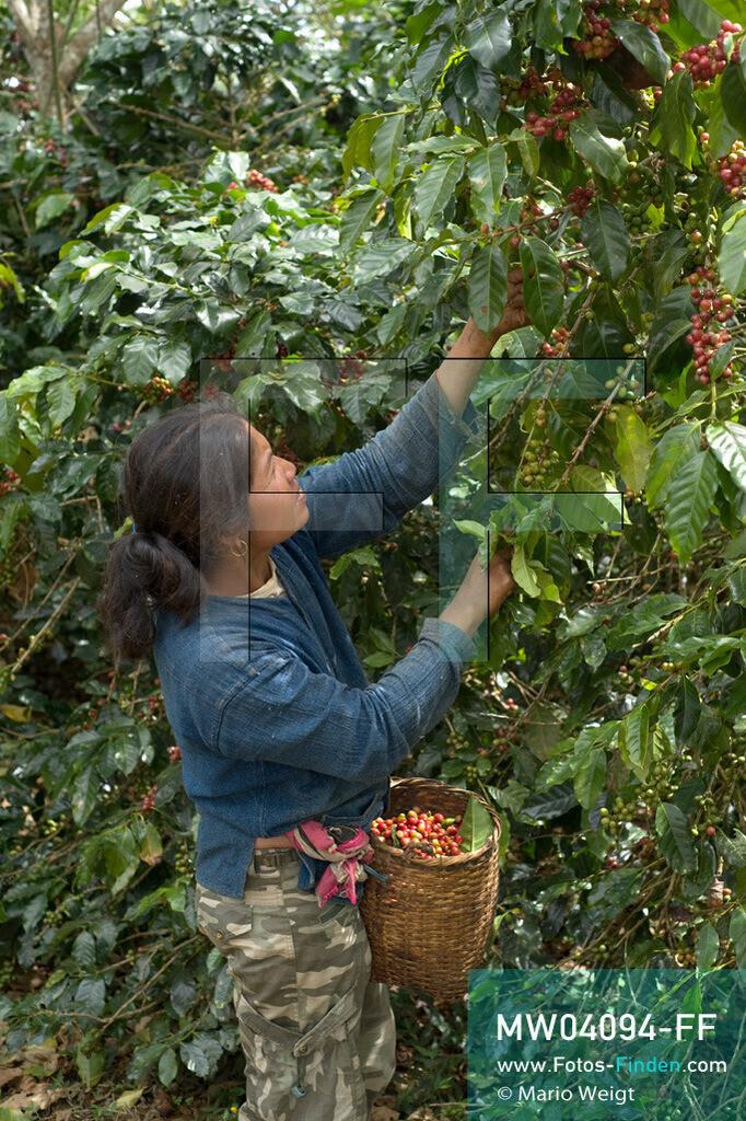 MW04094-FF | Laos | Paksong | Reportage: Kaffeeproduktion in Laos | Pflückerin sammelt Kaffeekirschen in einer Plantage auf dem Bolaven-Plateau. Hier werden die Kaffeesorten Robusta und Arabica angebaut.  ** Feindaten bitte anfragen bei Mario Weigt Photography, info@asia-stories.com **