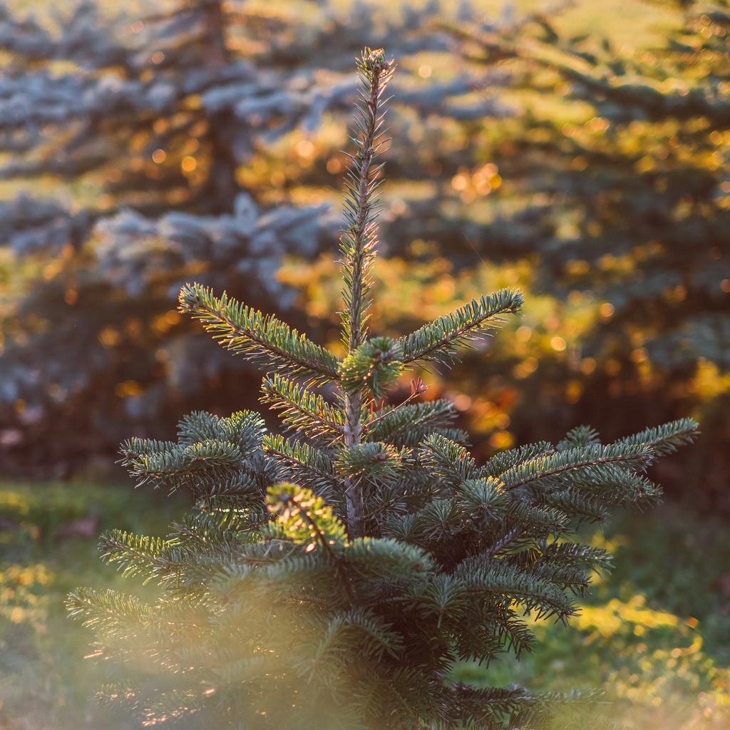 wachsender Weihnachtsbaum