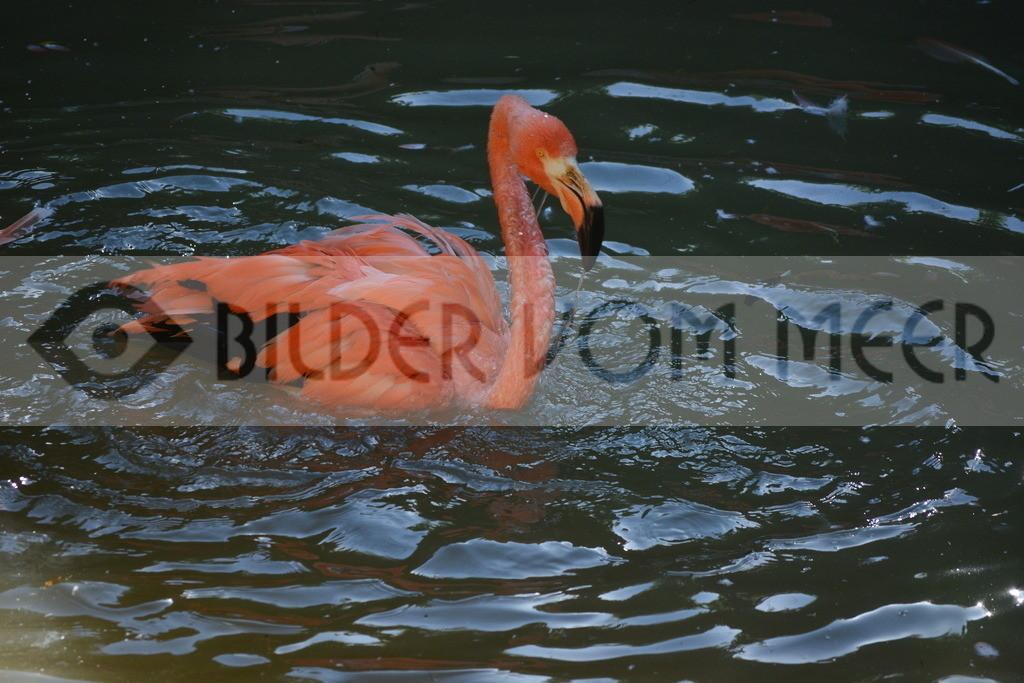 Flamingo Bilder   Roter Flamingo Bilder