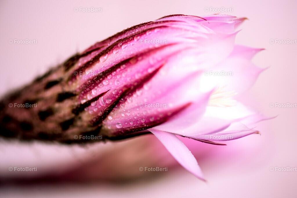 Close Up in Rosa | Kaktusblüte der Königin der Nacht