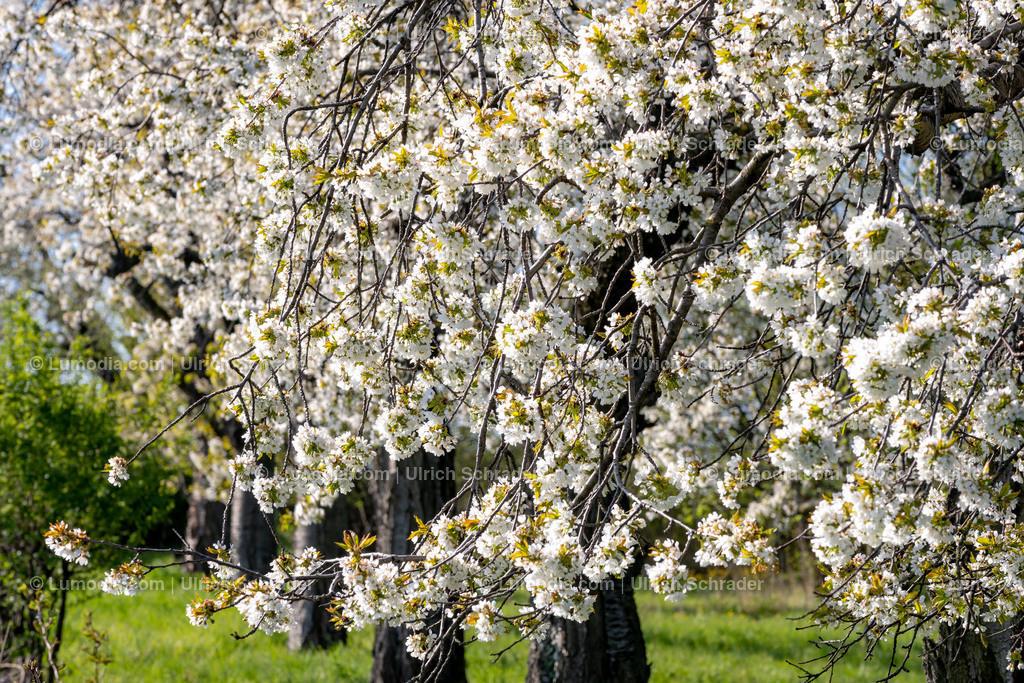 10049-10707 - Baumblüte im Harzvorland | max. Auflösung 8256 x 5504
