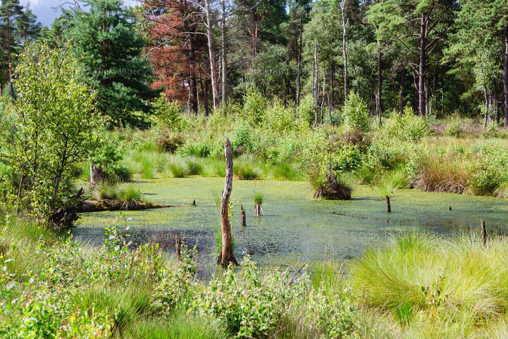 Tister Bauernmoor 2 | Das Tister Bauernmoor ist ein Hochmoor und Naturschutzgebiet in Niedersachsen. Es hat eine Größe von 570 ha und gehört zu dem großen Hochmoorgebiet Ekelmoor. Das Moor liegt in der Nähe des Ortes Tiste, einer Gemeinde in der Samtgemeinde Sittensen im Landkreis Rotenburg (Wümme) und gehört zu dem Naturraum der Wümmeniederung. Das Moor bietet Brut- und Rastplätze für viele, zum Teil seltene Vogelarten und ist einer der bedeutendsten Kranichplätze im nordwestdeutschen Flachland.