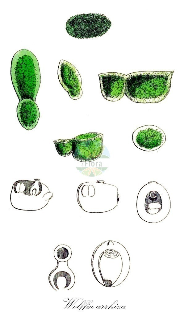 Historical drawing of Wolffia arrhiza (Rootless Duckweed) | Historical drawing of Wolffia arrhiza (Rootless Duckweed) showing leaf, flower, fruit, seed