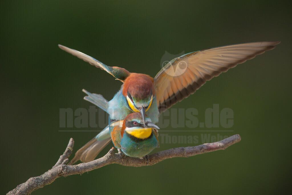 20140520_174110 | Die Bienenfresser tragen ihren Namen, weil sie am liebsten Bienen, Wespen und Hummeln fressen. Bienenfresser auf einem Baum mit Beute im Schnabel (Bild: SWR)Bienenfresser sind die farbenprächtigsten Vögel, die es in Europa gibt. Das liegt daran, dass sie zu einer Vogel-Gruppe gehören, die in den Tropen zu Hause ist: sie gehören zu den Rackenvögeln und sind mit unseren Eisvögeln verwandt.