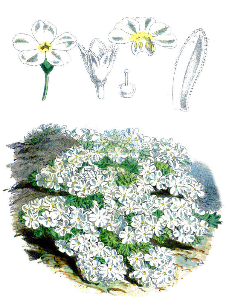 Androsace pubescens | Historische Abbildung von Androsace pubescens. Das Bild zeigt Blatt, Bluete, Frucht und Same. ---- Historical Drawing of Androsace pubescens.The image is showing leaf, flower, fruit and seed.