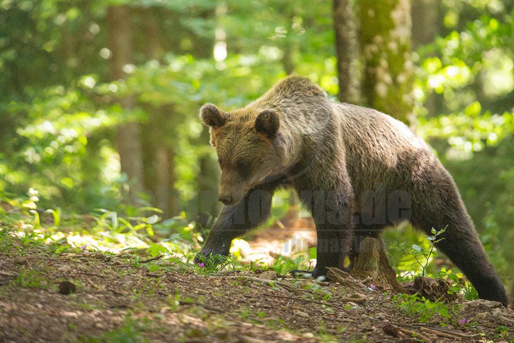 IMG_4726 | Der Braunbär gehört zu den Säugetieren aus der Familie der Bären. In Eurasien und Nordamerika kommt er in mehreren Unterarten vor, darunter Europäischer Braunbär, Grizzlybär und Kodiakbär. Als eines der größten an Land lebenden Raubtiere der Erde spielt er in zahlreichen Mythen und Sagen eine wichtige Rolle.
