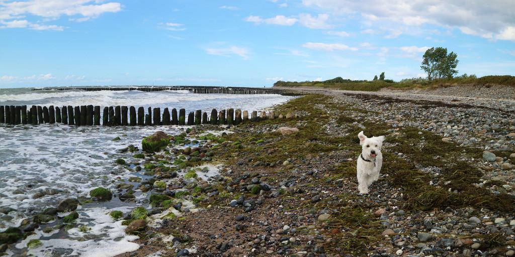 Stürmischer Ostseestrand mit Hund Panorama | Ostsee Strand Buhne bei Dranske mit weißem Hund Panorama