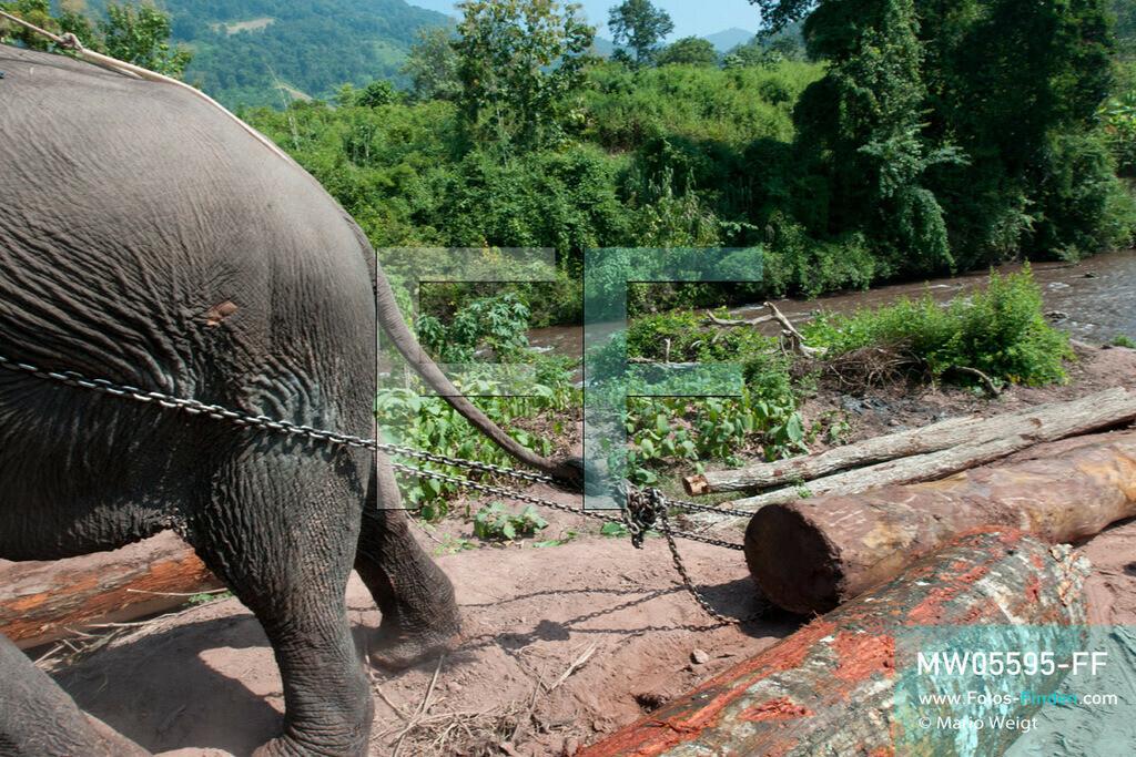 MW05595-FF | Laos | Provinz Sayaboury | Reportage: Arbeitselefanten in Laos | Schwerstarbeit für den Dickhäuter: Arbeitselefant zieht einen Baumstamm aus dem Fluss.  Lane Xang -