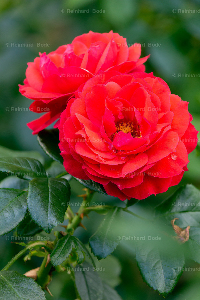 Rose 'Paola'