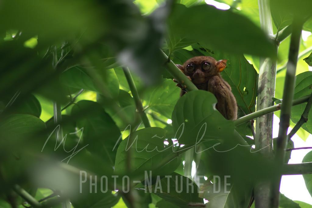 Ein Kobold-Maki | Dieser Kobol-Maki versteckt sich im Geäst eines philippinen Regenwaldes