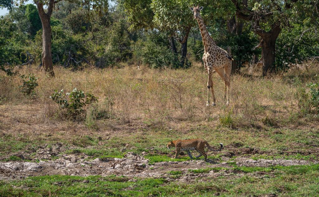 """GRO07596   South Luangwa und Lower Sambesi Nationalparks zählen zu den grossartigsten Nationalparks Afrikas und sind ein unbestrittenes """"MUST"""" für Tier- und Naturliebhaber während einer Sambia-Reise!"""