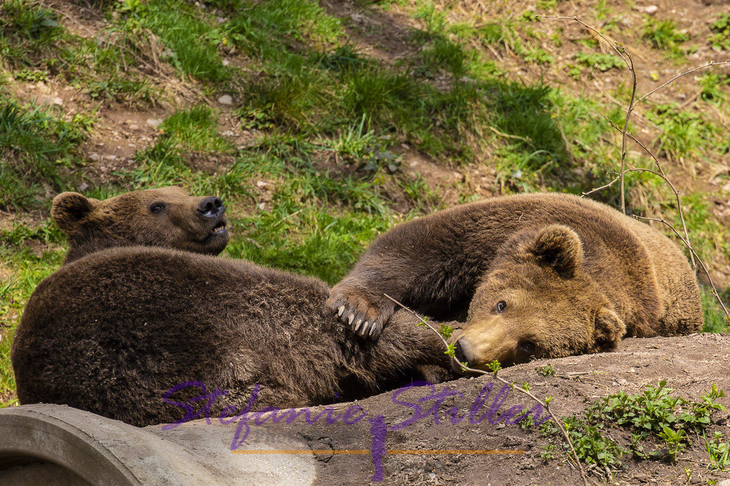 Bärenbrüder | Bären beim Spielen