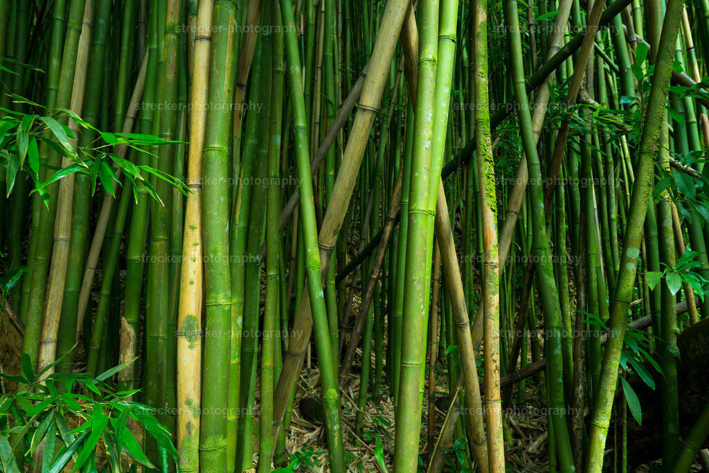 Bamboo Forest | Bambus Hawaii