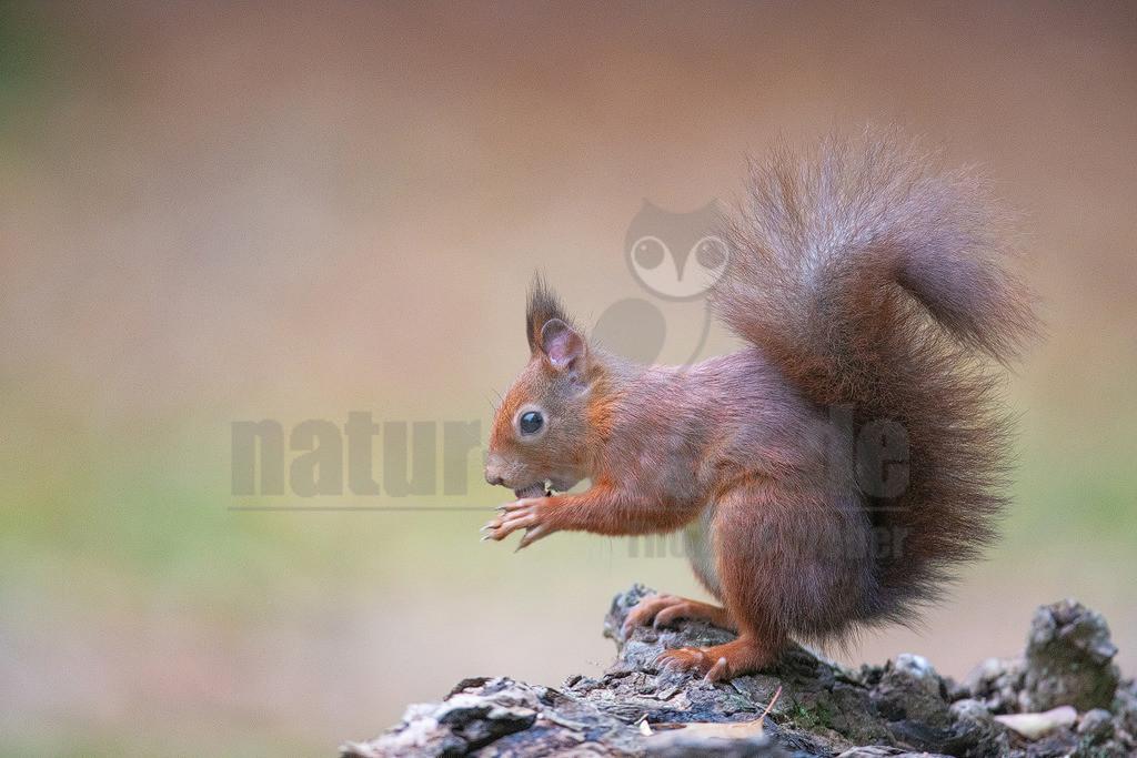 202017173925 | Die Eichhörnchen sind eine Gattung der Baumhörnchen innerhalb der Familie der Hörnchen. Ein auffälliges Merkmal ist der hochgestellte buschige Schwanz. Die in Mitteleuropa bekannteste Art ist das Eurasische Eichhörnchen, das gemeinhin einfach als Eichhörnchen bezeichnet wird.