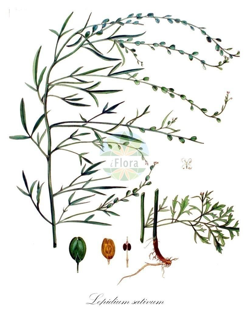Historical drawing of Lepidium sativum (Garden Cress) | Historical drawing of Lepidium sativum (Garden Cress) showing leaf, flower, fruit, seed