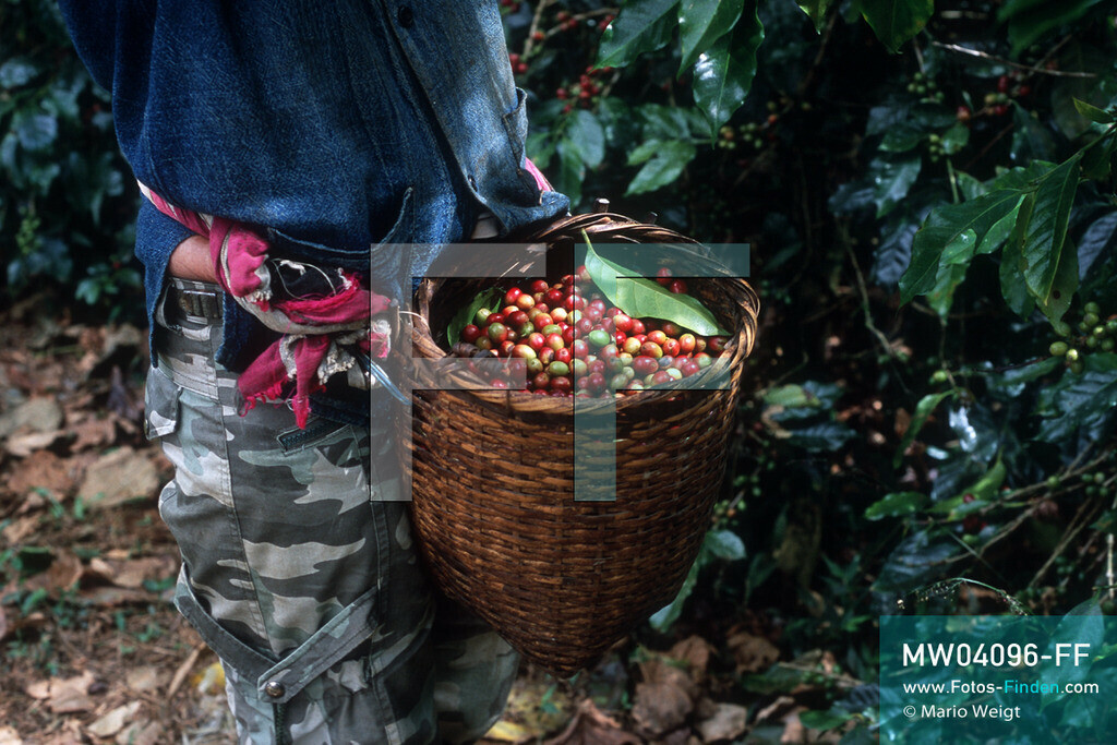 MW04096-FF   Laos   Paksong   Reportage: Kaffeeproduktion in Laos   Pflückerin sammelt Kaffeekirschen in einer Plantage auf dem Bolaven-Plateau. Hier werden die Kaffeesorten Robusta und Arabica angebaut.  ** Feindaten bitte anfragen bei Mario Weigt Photography, info@asia-stories.com **