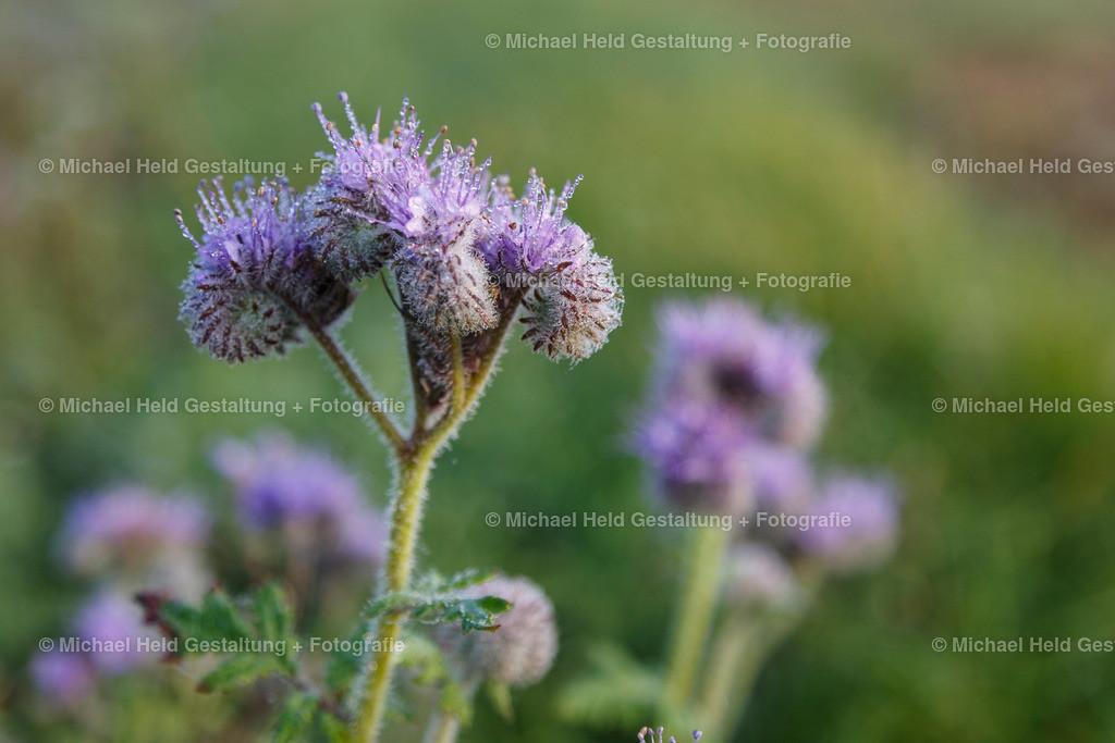 10 Oktober | Blüten im Tau | Frühtau auf Blüten in der Nähe von Selent