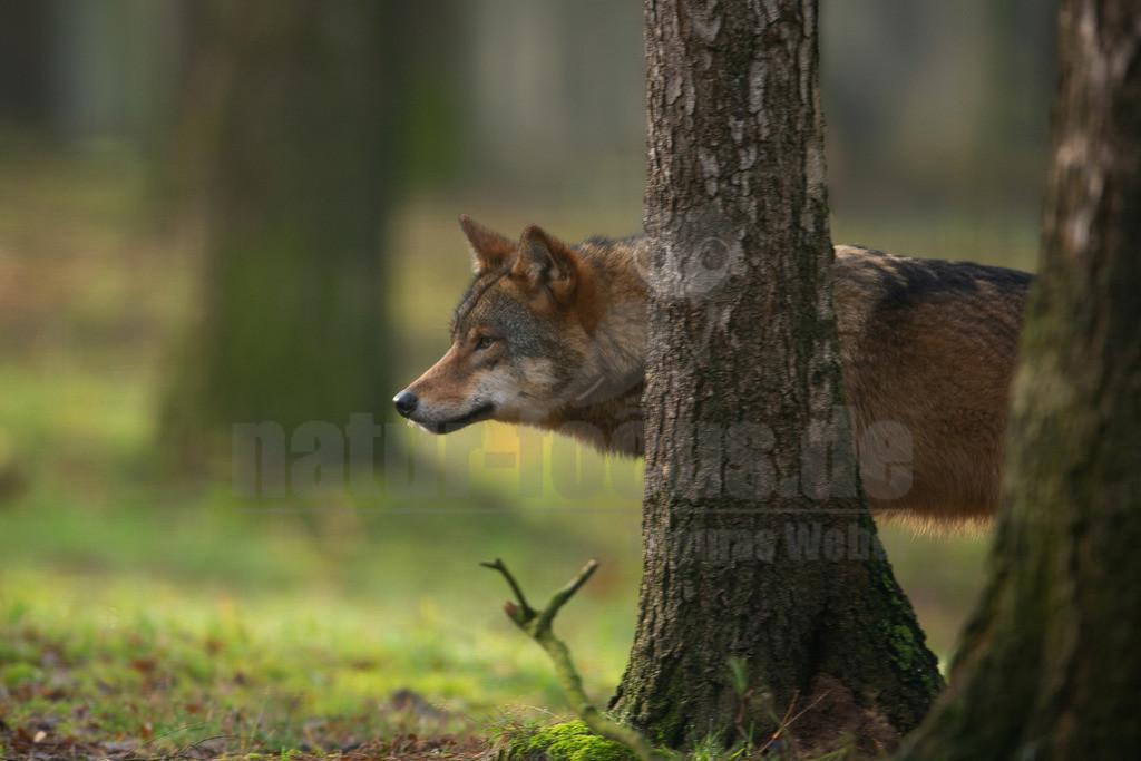 Wolf | Wölfe sind sehr anpassungsfähig und bewohnen die unterschiedlichsten Gegenden, von den arktischen Tundren bis zu den Wüsten Nordamerikas und Zentralasiens. Einst war der Wolf eines der am weitesten verbreiteten Säugetierarten der Welt.