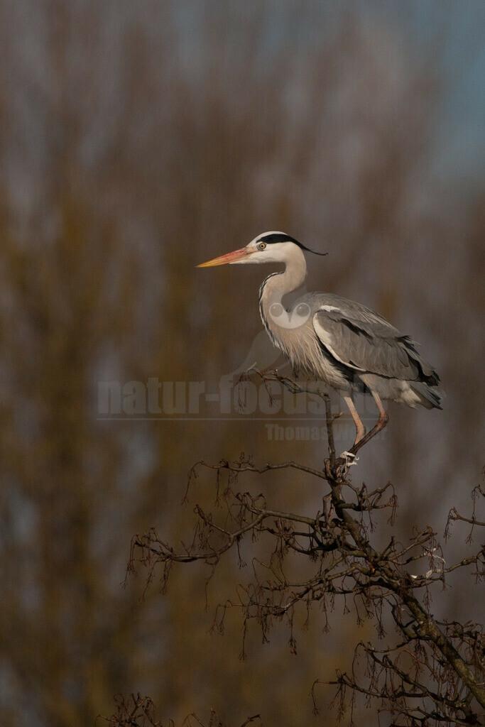 20080314_16374215805 | Der Graureiher ist in etwa 90 cm groß und wiegt zwischen 1000 und 3000 Gramm. Das Gefieder auf Stirn und Oberkopf ist weiß, am Hals grauweiß und auf dem Rücken aschgrau mit weißen Bändern. Er fliegt mit langsamen Flügelschlägen und zurückgezogenem Kopf.