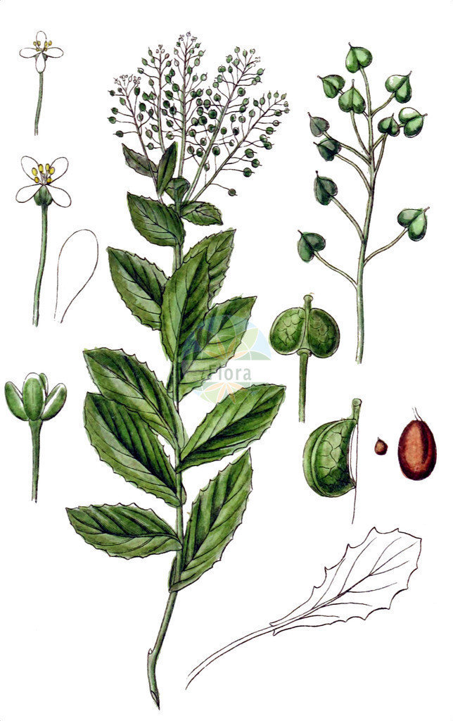 Lepidium draba (Pfeilkresse - Hoary Cress) | Historische Abbildung von Lepidium draba (Pfeilkresse - Hoary Cress). Das Bild zeigt Blatt, Bluete, Frucht und Same. ---- Historical Drawing of Lepidium draba (Pfeilkresse - Hoary Cress).The image is showing leaf, flower, fruit and seed.