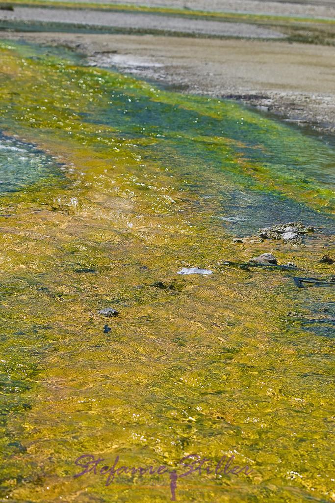 Gelber Bakterienteppich