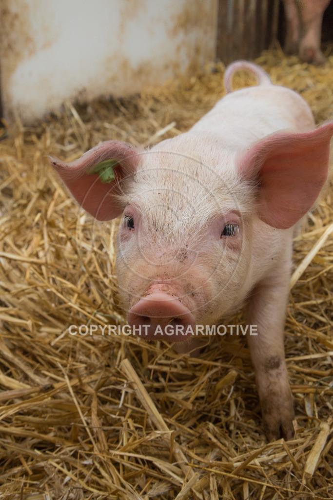 20160705-IMG_7912 | glückliche Schweine