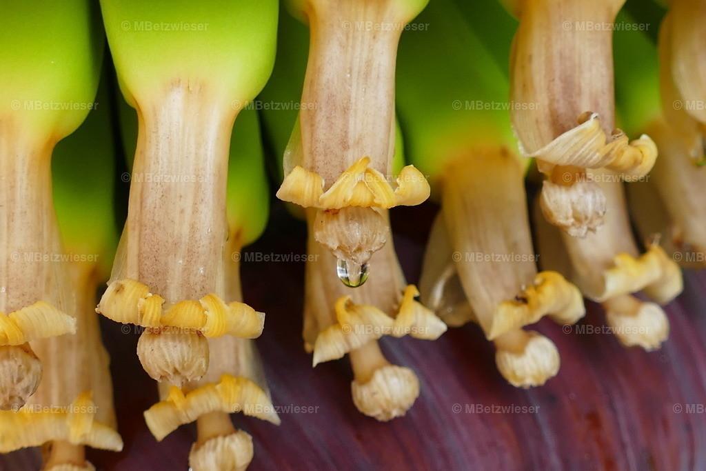 P1000991   Die echte Blüte der Bananen und nur 4-5 cm lang.