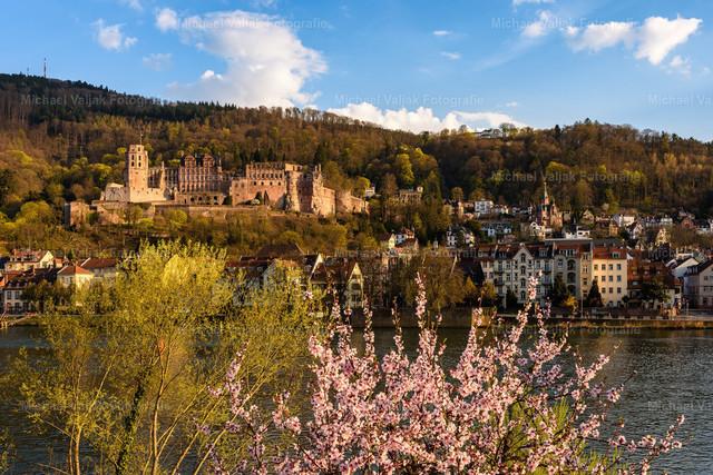 Frühling in Heidelberg   Am Neckarufer blühen die Kirschbäume und erste grüne Blätter an vereinzelten Bäumen sorgen für schöne Farbtupfer. Im Hintergrund ist das Schloss Heidelberg, angeleuchtet von der Nachmittagssonne.
