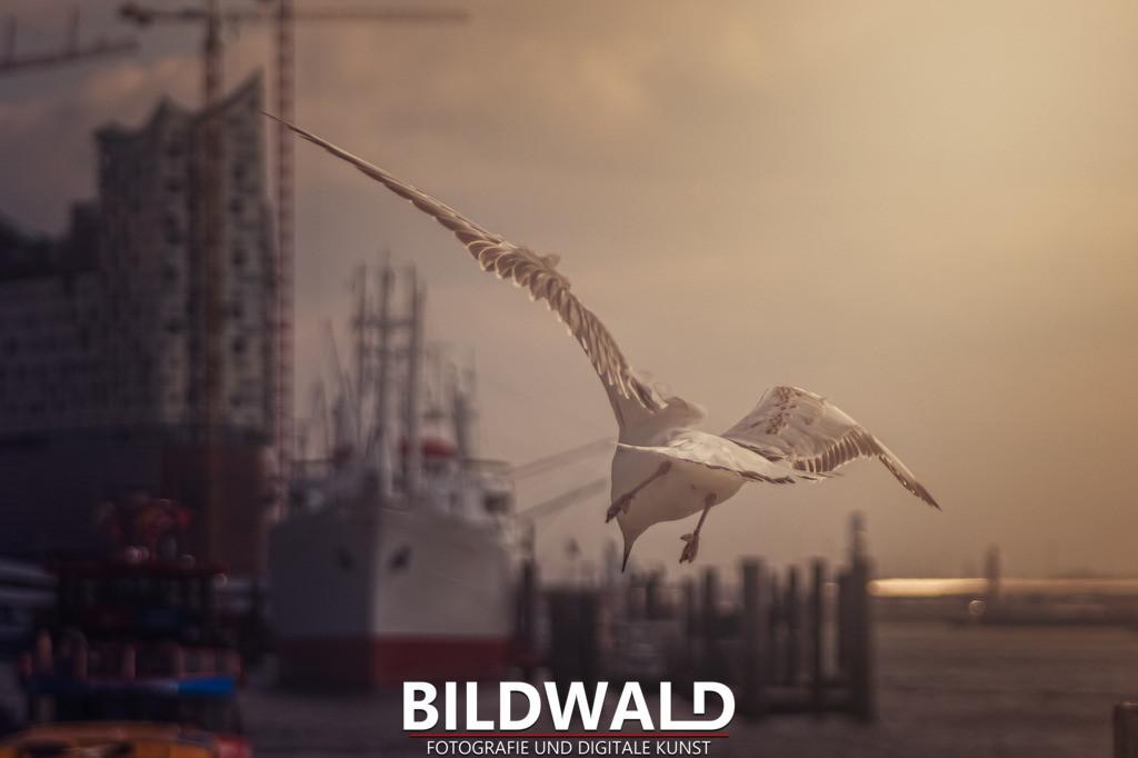 bildwald wildtiere wild tiere bild wald fotograf hamburg möwe anflug sonnenuntergang gemälde | SONY DSC