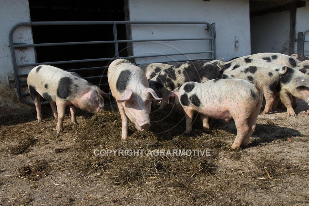 20130425-_MG_6222   Bioschweine - AGRARMOTIVE Bilder aus der Landwirtschaft
