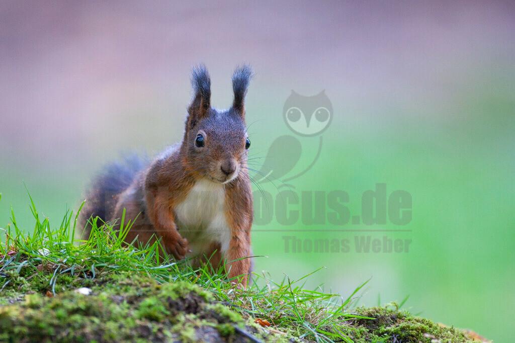 20081020162616 | Das Eurasische Eichhörnchen, häufig nur als Eichhörnchen bekannt, ist ein Nagetier aus der Familie der Hörnchen. Es ist der einzige natürlich in Mitteleuropa vorkommende Vertreter aus der Gattung der Eichhörnchen und wird zur Unterscheidung von anderen Arten wie dem Kaukasischen Eichhörnchen und dem in Europa eingebürgerten Grauhörnchen auch als Europäisches Eichhörnchen bezeichnet.
