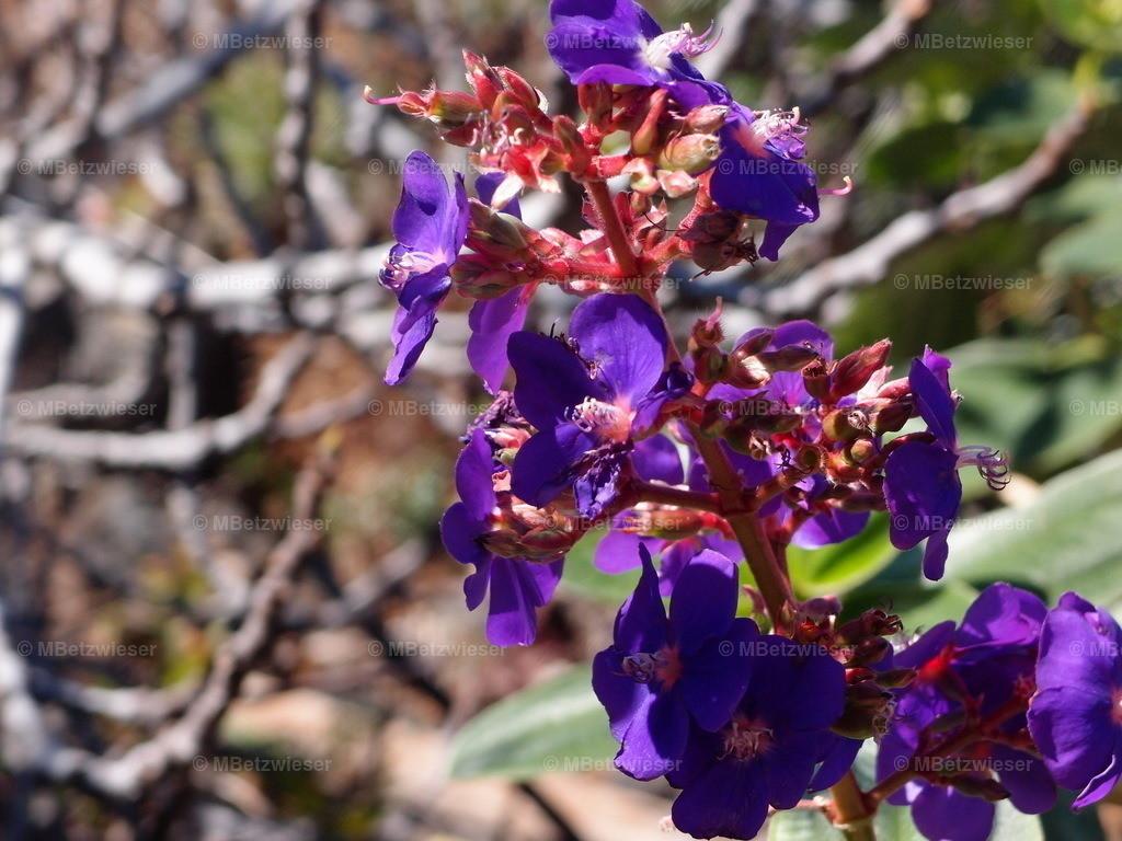 P2288005 | Bis zu 2 Meter hoch wird die kräftig leuchtende Zierpflanze