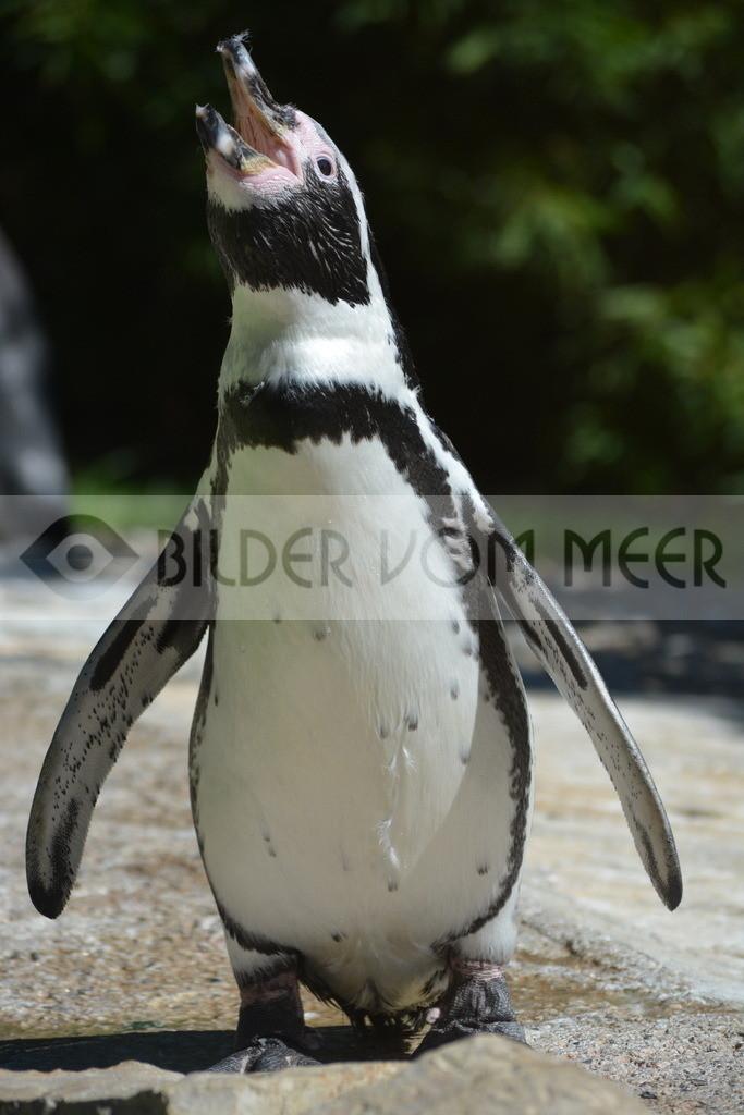 Pinguine Bilder   Foto Pinguin Italien