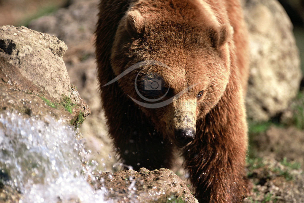Grizzly_am Bach