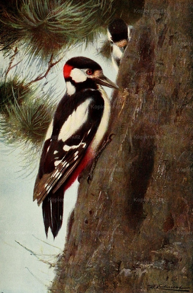 Kuhnert_ F.W. (1865-1926) - Wild Life of the World 1916 - Spotted Woodpecker