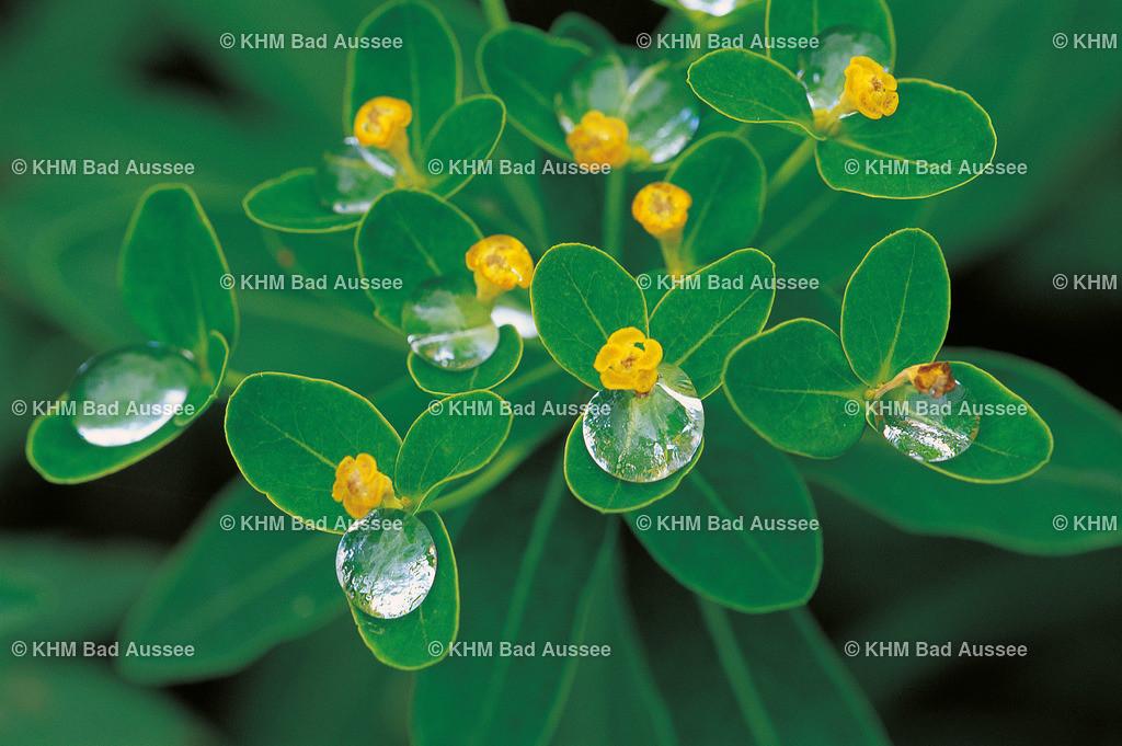 Mandel_Wolfsmilch | lat. Euphorbia amygdaloides