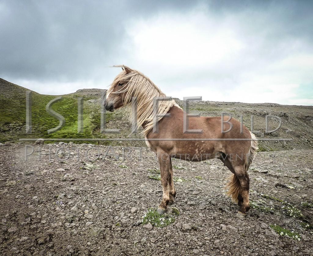 Islandpferde | Im Hochland auf Island