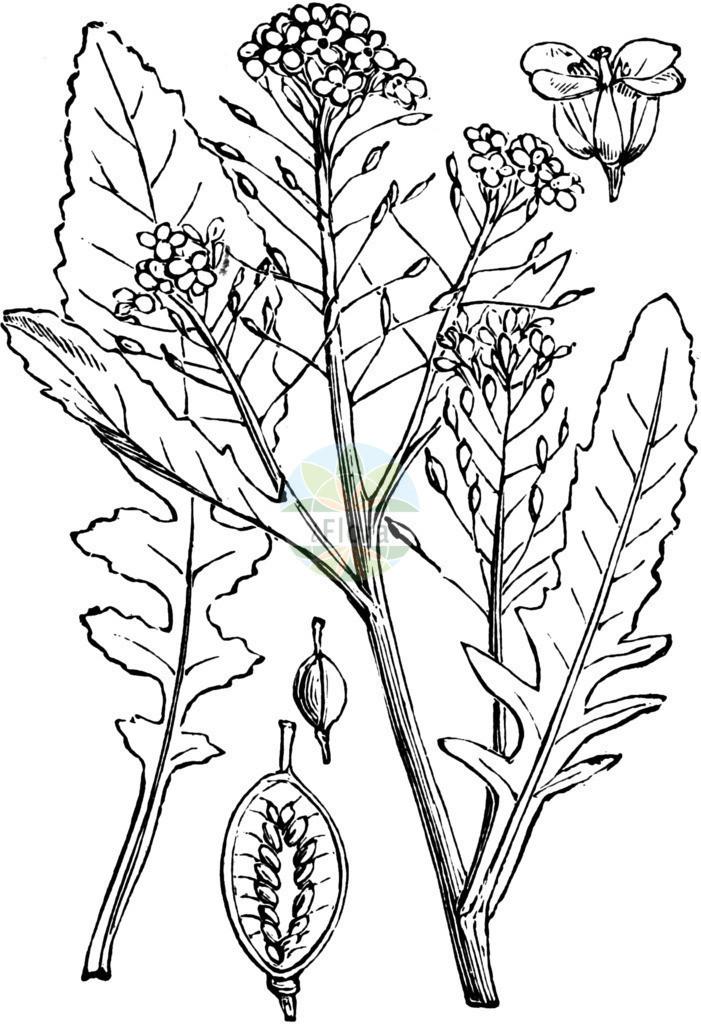 Rorippa amphibia (Wasser-Sumpfkresse - Great Yellow-cress) | Historische Abbildung von Rorippa amphibia (Wasser-Sumpfkresse - Great Yellow-cress). Das Bild zeigt Blatt, Bluete, Frucht und Same. ---- Historical Drawing of Rorippa amphibia (Wasser-Sumpfkresse - Great Yellow-cress).The image is showing leaf, flower, fruit and seed.