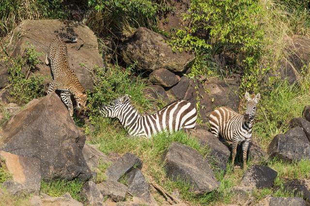 Leopardattacke   Der Leopard fixiert kurz das unter Schock stehende Zebra.